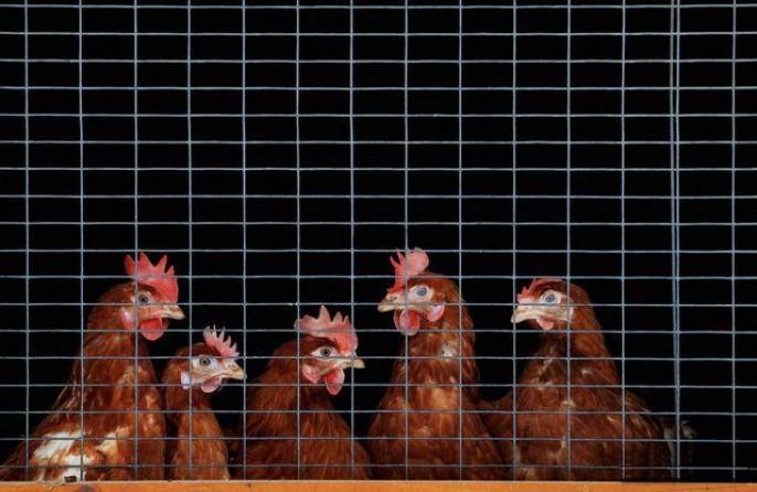 ЕСзапретил ввоз курицы из государства Украины из-за вспышки птичьего гриппа